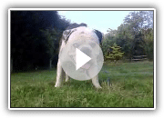 Numb Skull the Alapaha Bulldog in the UK