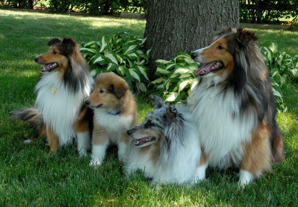 Collie De Pelo Largo Razas De Perros Mascotas