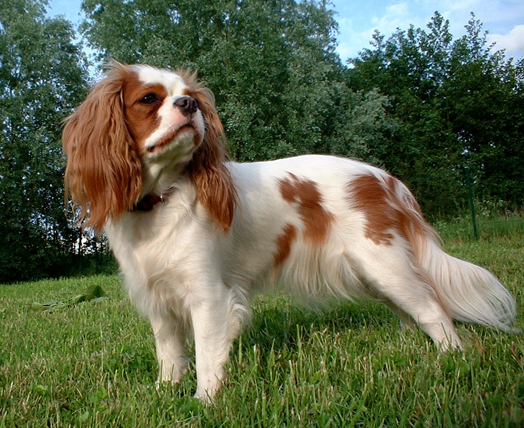 English Toy Spaniel Breeds Of Dogs