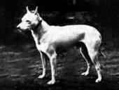 Englische weiße Terrier