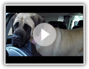 American Mastiff Out of the car.