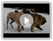 Stanley (American Mastiff) and Phineas (Leonberger) playing