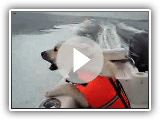 Norwegian Buhund Dog Boating and Barking at the Waves