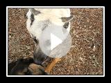 Moose, the Norwegian Buhund