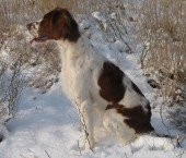 Setter Irish Red and white