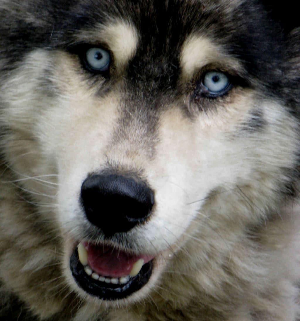 Wolf Vs Dog Eyes