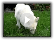 Norwegian Buhund Kahsha Eating Peanut Butter