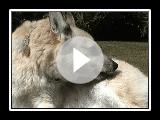 Norwegian Buhund in Bath Aftermath