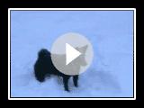 Norsk Buhund Siri leker i...