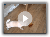 Lindo cãozinho Buhund norueguês jogando