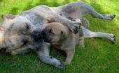 Criadores de Ca de Bou o Dogo Mallorquín en España