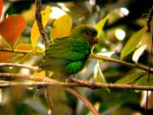 Blue-fronted Parrotlet