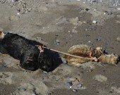 Gatos en playa Benitez - Ceuta