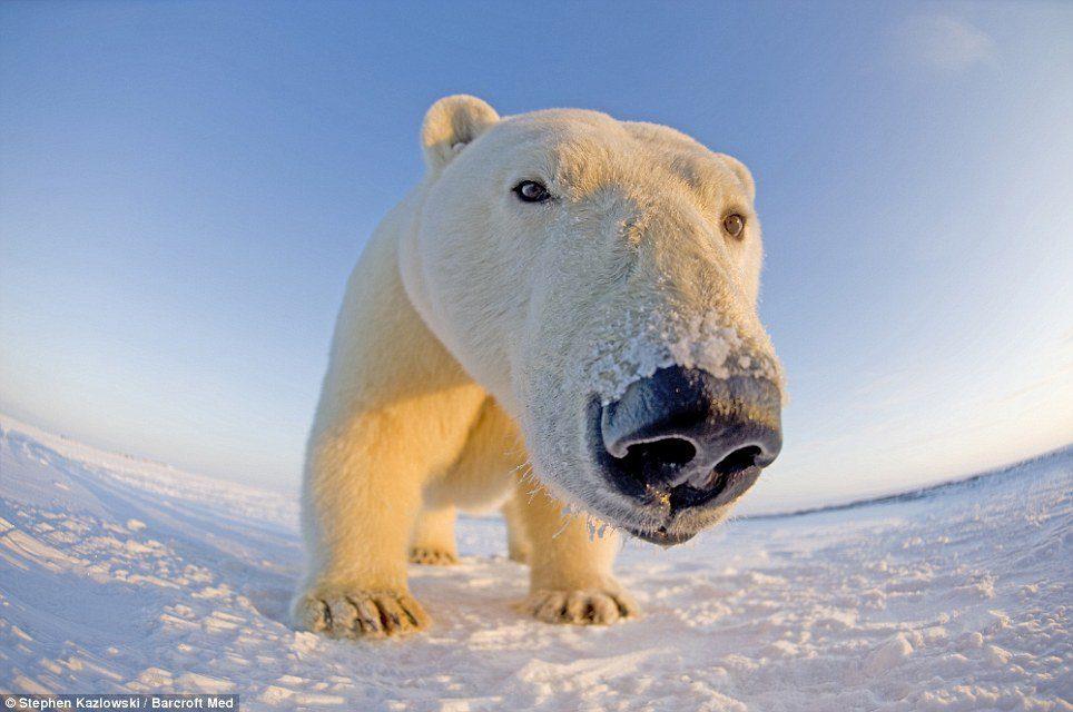 osos del Ártico