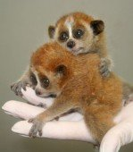 Pygmée Slow Loris