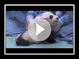 First Steps! San Diego Zoo Panda Cub 9th exam