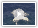 Albino humpback whale spotted off Australian Gold Coast