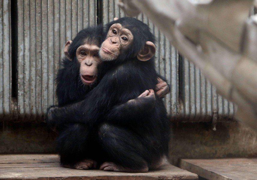 Dos crías de chimpancé