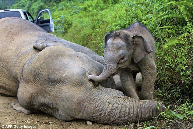 A three-month-old elephant breeding, attempts to awaken his mother, one of the ten dwarf elephants found dead in Sabah  (Malaysia)