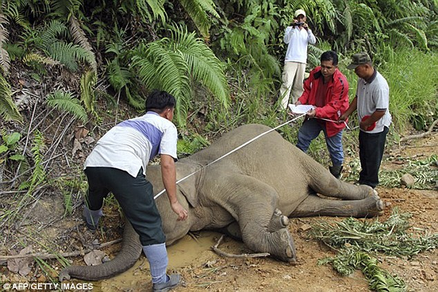 Conservation officials believe that elephants, discovered in the forest reserve of Gunung rare, they have been poisoned