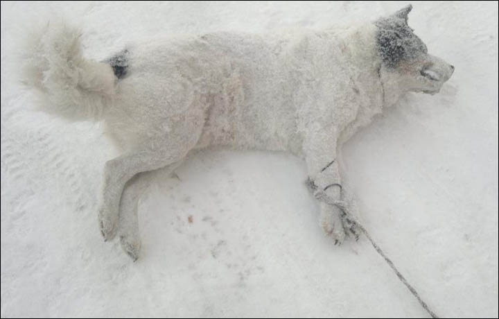Tortured dog in Siberia