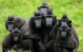 macacos con cresta