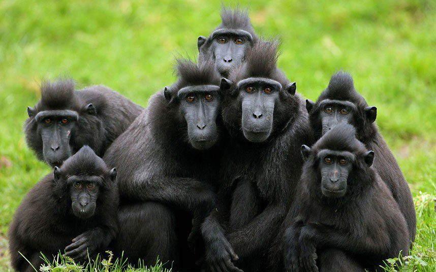 Crested macaques