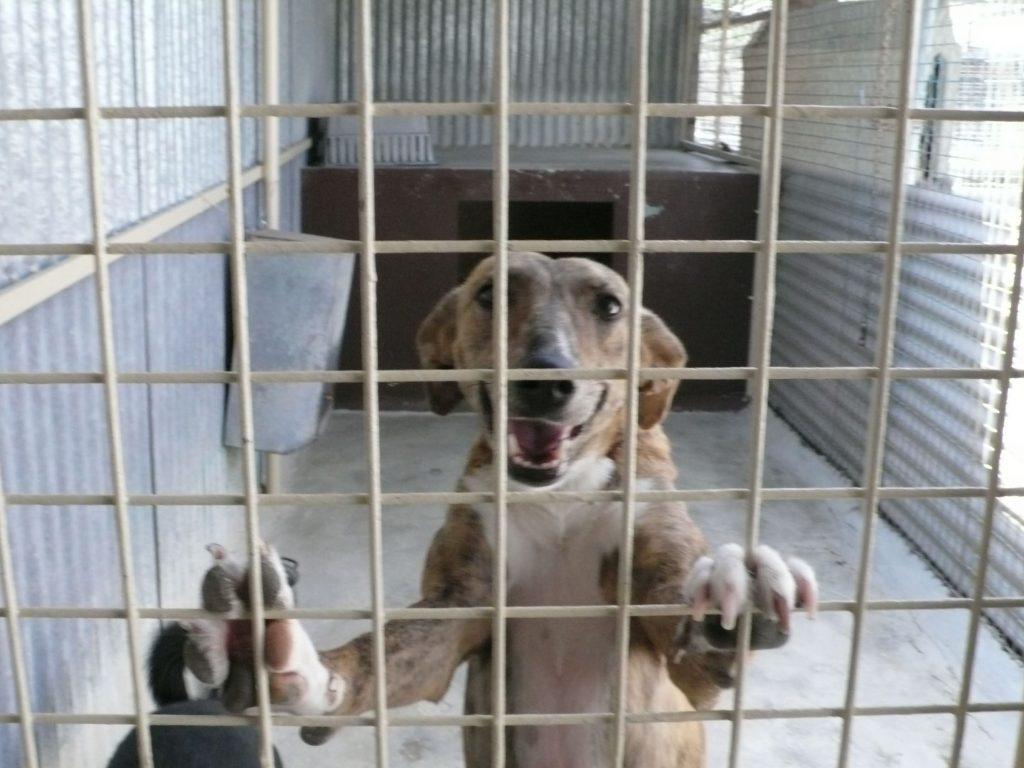 Kenia, una perra que sufrió un intento de ahorcamiento, en una imagen de 2011 tomada en las instalaciones de la protectora de animales Arca en Torredelcampo. Habían pasado dos años del ahorcamiento y aún no se dejaba acariciar casi por nadie.