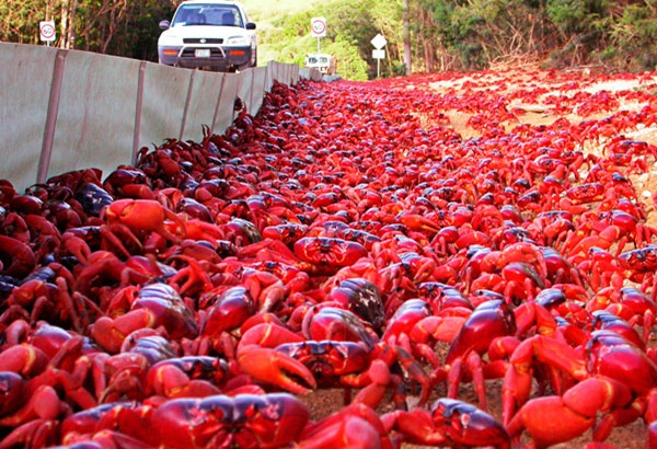 92-Christmas-Island-baby-red-crabs
