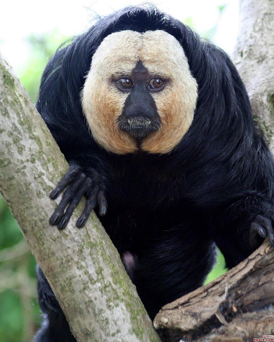 Weißkopfsaki Affe