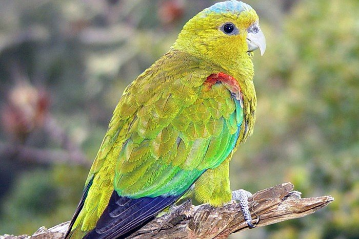Indigo-winged Parrot