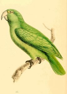Short tailed Parrot