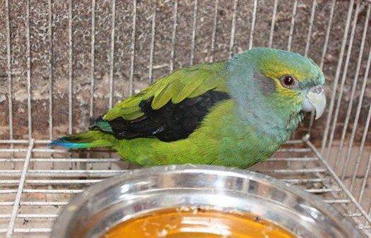 Parrot Alinegro