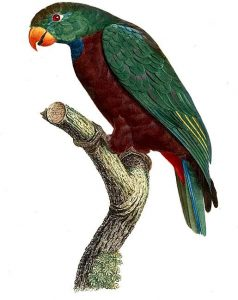Red billed Parrot