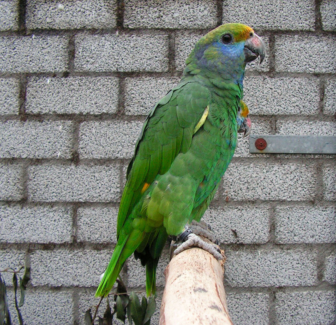 Amazona Cariazul