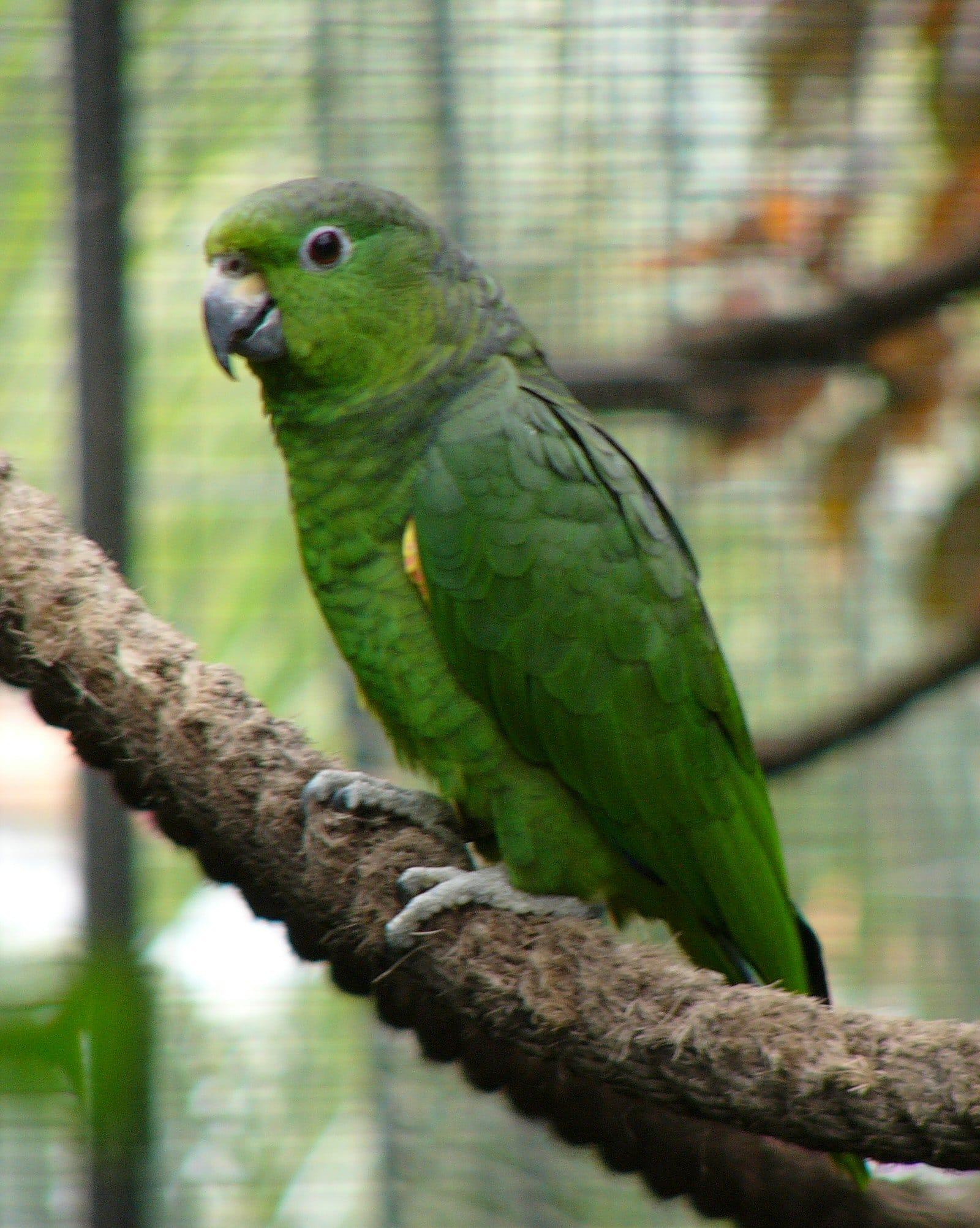 amazona mercenaria amazona mercenarius aves exoticas mascotas