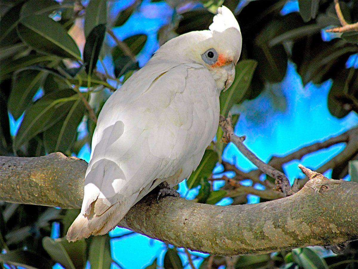 Cacatúa Cavadora