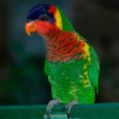 Ornate Lory
