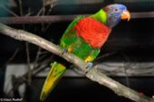 Coconut Lorikeet (deplanchii)