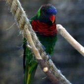 Coconut Lorikeet (massena)