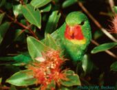 Red-throated Lorikeet