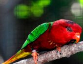 Fairy Lorikeet