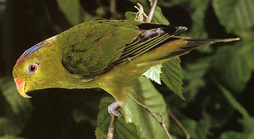 Pygmy Lorikeet