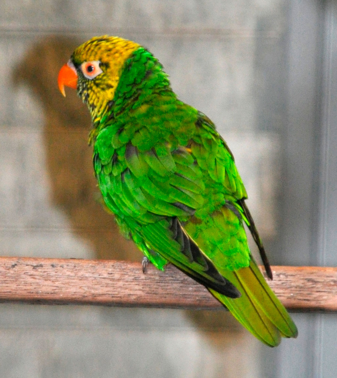 Yellow-and-green Lorikeet