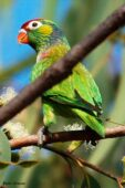 Varied Lorikeet