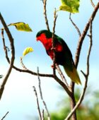 Stephen's Lorikeet