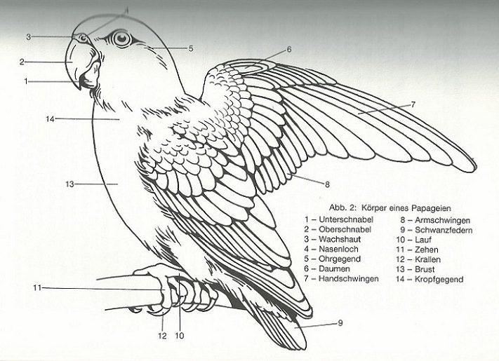 Grünflügelara (Ara chloropterus) - Exotische Vögel | Haustiere