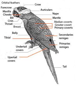 Anatomy-parrots-eng