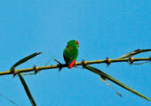 Moluccan Hanging-Parrot