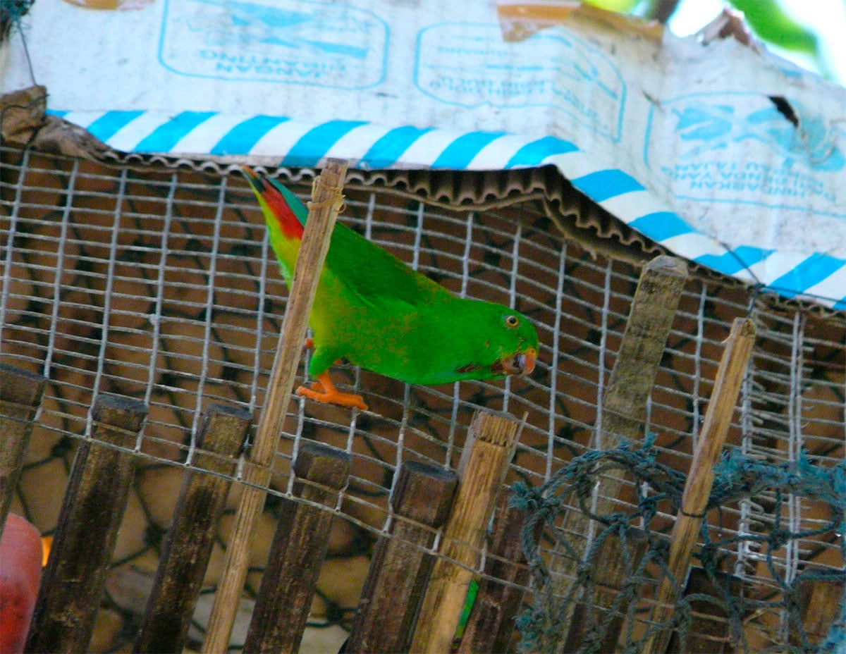 Red-billed Hanging-Parrot